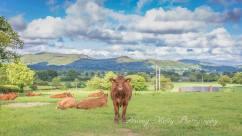 Shropshire/Powys Cow
