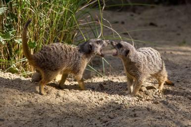 Meerkats at Champrepus
